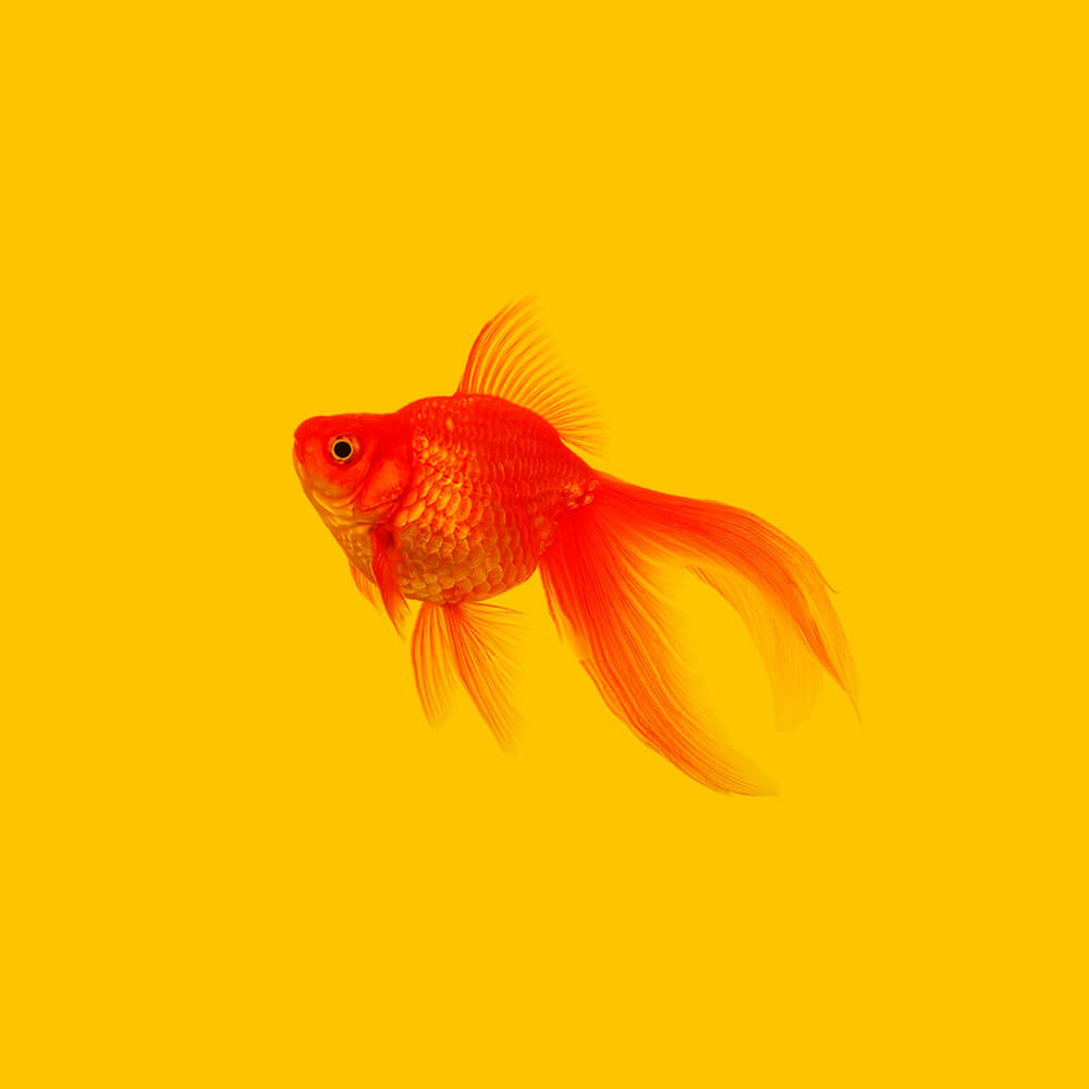 Gold_Fish_1_1000x1000px